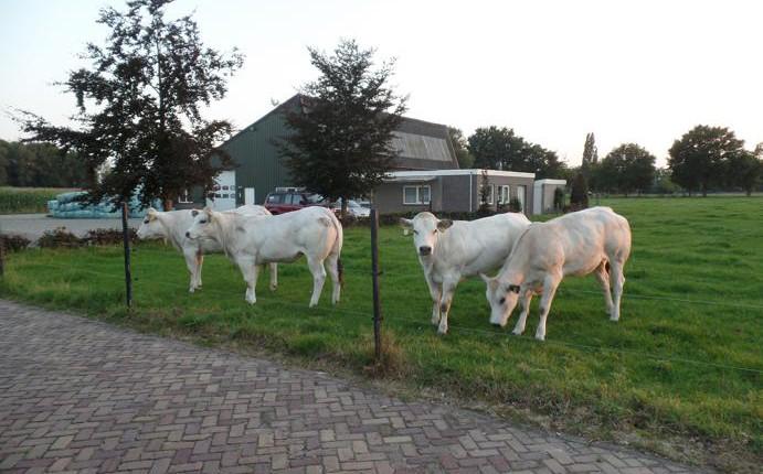 Piemontese pinken Kreitenstraat Oisterwijk
