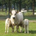 Ergo koe met tweeling