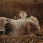 Piemontese stieren liggen in stro